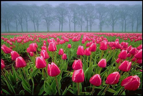Red Tulips av Jane Fresco